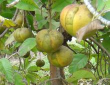 The elephant apple, or wood apple