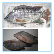 frozen black tilapia  gutted  &  scaled