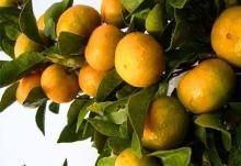 Nanfeng orange7