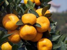 Nanfeng orange17
