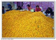 Nanfeng orange18