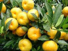 Nanfeng orange19