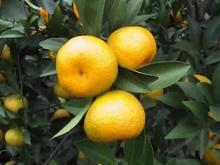 Nanfeng orange20