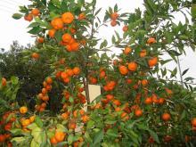 Nanfeng orange24