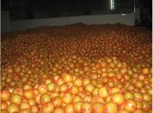 Grapefruit016