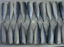 Pacific Mackerel