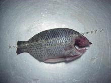 China Frozen Black Tilapia Fish Head-off, Gutted, Scaled, Tail-off, Fins-off (Oreochromis Niloticus)