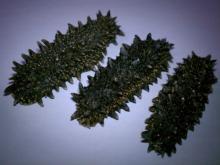 Sea cucumber from Hokkaidou