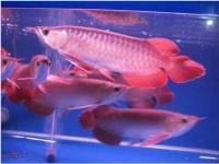 Ndeco fish pont ltd arowana fish for Red arowana fish for sale in usa