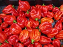 hot pepper scotch bonnet
