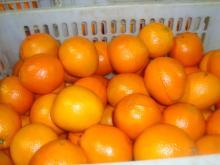 Navel orange06