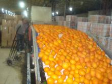 Navel orange08