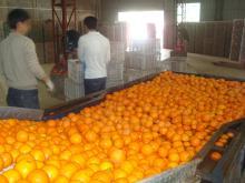 Navel orange10