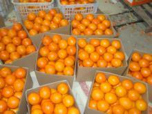 Navel orange13