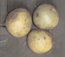 Marula Fruits and Juice for Bear Production