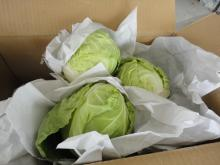Chinese cabbage002
