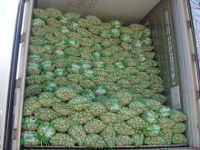 Normal garlic
