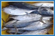 Eastern little tuna - photo#14