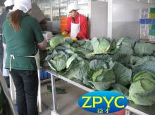 Fresh green round cabbage