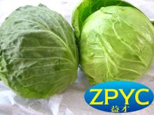 Sell beijing cabbage