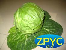 Fresh cabbage Chinese vegetable