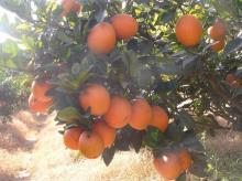 Sweet navel orange