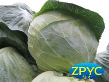 Green round cabbages