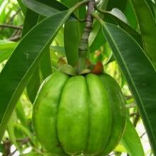 Garcinia cambogia fruit extract