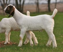 BOER GOATS ( BUCKS / DOES / KIDS )