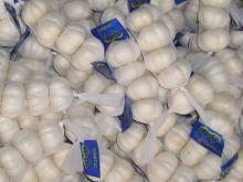 Hybrid Garlic