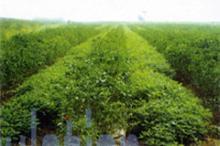 Gynostemma   Extract   powder