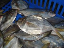 Frozen Whole Butterfish (Peprilus Medius)