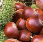 Organic fresh chestnut(all kinds of sizes)