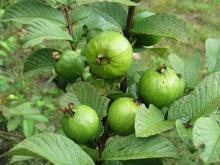 Guava   fruit s/leaf