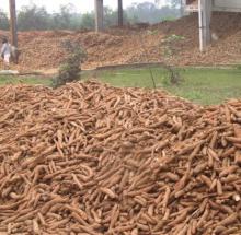manioc ( cassava)