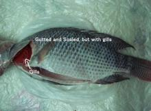 frozen tilapia Gutted Scaled