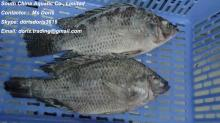 Frozen Tilapia Gutted and Scaled