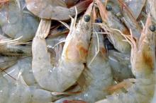 White Prawn (Penaeus indicus)