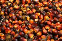 PALM CANEL RED OIL
