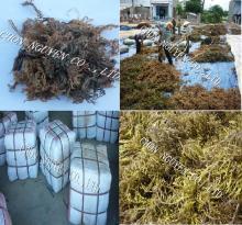Brown cottonii seaweed
