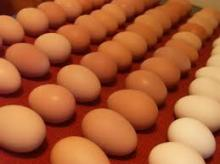 Fertile and Table chicken eggs for sale