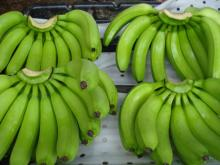 Fresh Cavendish Banana The same quality like; CHIQUITA, from Philippines