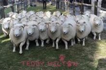 live sheep
