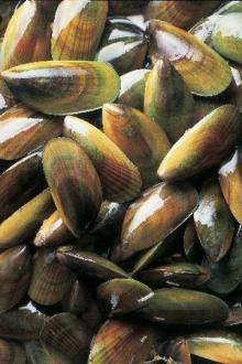 greenshell mussel