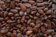 cocoa beans seeds