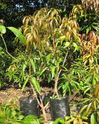 Mango Tree Plants (Nuesery)