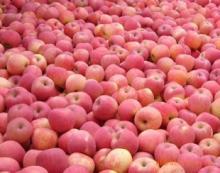 2013 new crop red fuji apples