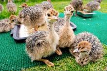 ostrich chicks and ostrich fertile eggs