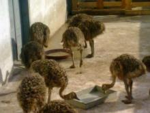 emu ostrich eggs and chicks
