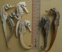 High grade dried sea horse